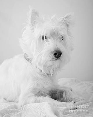 Westie Terrier Photograph - Westie Dog In Black And White by Edward Fielding