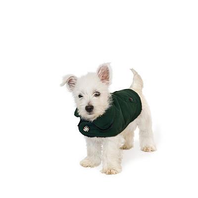Westie Puppy In A Coat Print by Natalie Kinnear