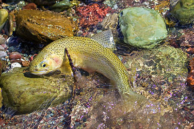 Westslope Cutthroat Trout Print by Merle Ann Loman