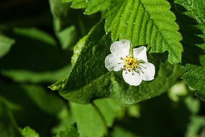 Wet Strawberry Flower - Featured 3 Print by Alexander Senin