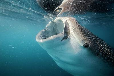 Water Filter Photograph - Whale Shark Feeding by Christopher Swann
