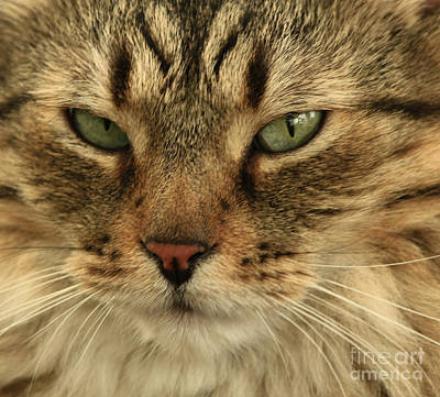 Whats Up Pussy Cat Print by Inspired Nature Photography Fine Art Photography