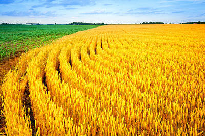 Wheat And Corn Print by Alexey Stiop