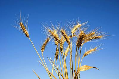 Wheat Stalks Print by Photostock-israel
