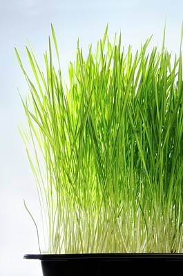 Health Food Photograph - Wheatgrass Growing In A Tray by Cordelia Molloy