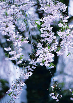 Spring Branches Photograph - Weeping Cherry by Jessica Jenney