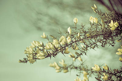 When Gorse Flowers Sing Their Melody Print by Loriental Photography