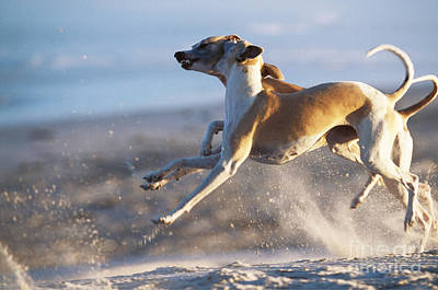 Whippet Dogs Fighting Print by Chris Harvey