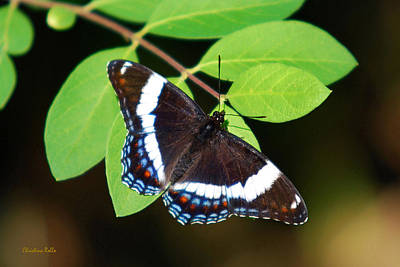 White Admiral Butterfly Print by Christina Rollo