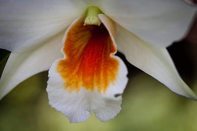 Florals Photograph - White And Orange Orchid by David Patterson