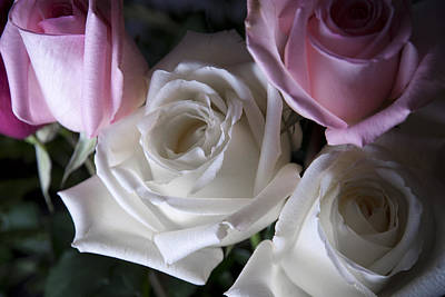 White And Pink Roses Print by Jennifer Ancker