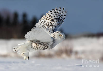 White Angel - Snowy Owl In Flight Print by Mircea Costina Photography
