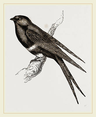 Swallow Drawing - White-banded Swallow by Litz Collection