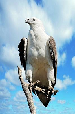 White-bellied Sea Eagle Print by Bildagentur-online/mcphoto-schulz