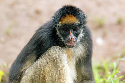 Monkey Photograph - White-bellied Spider Monkey by Dr Morley Read