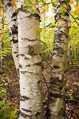 White Birch Forest 	 Print by James Marvin Phelps