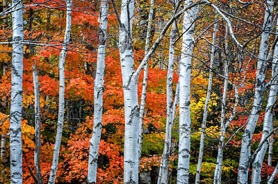 New Hampshire Autumn Photograph - White Birch Forest - White Mountains by Thomas Schoeller