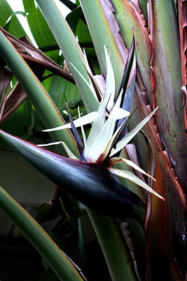 Plein Air Photograph - White Bird Of Paradise by Donna Walsh