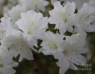 Azaleas Photograph - White Blooming Azaleas by Cathy Lindsey