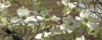 White Blossoms Print by Barbara McDevitt