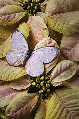 White Butterfly On Poinsettia Print by Garry Gay