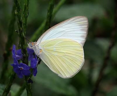 Insects Photograph - White Butterfly by Zina Stromberg