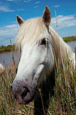 White Camargue Horse With Head Print by Panoramic Images