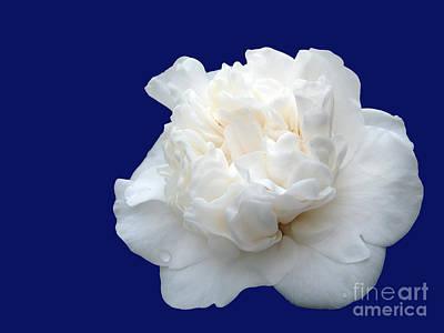 White Camellia Print by Gaspar Avila