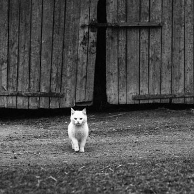 Old Barn Drawing Photograph - White Cat Standing By A Barn Door  by Nerijus Juras