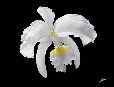 White Cattleya Orchid Print by Phil Jensen