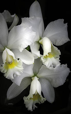 White Cattleya Orchids Print by Julie Palencia