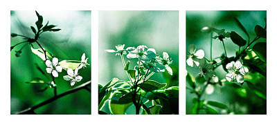 White Cherry Blossoms Triptych - Featured 3 Print by Alexander Senin