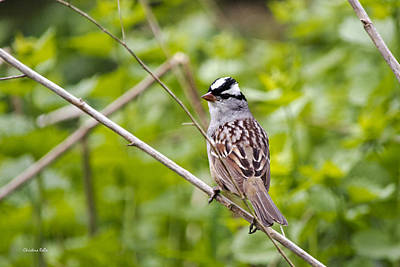 Birds Photograph - White-crowned Sparrow by Christina Rollo