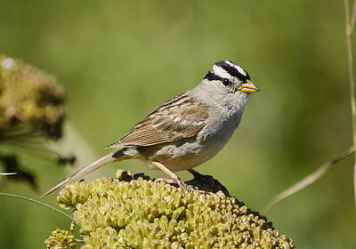 Oregon Photograph - White-crowned Sparrow by Marv Vandehey
