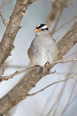White-crowned Photograph - White-crowned Sparrow (zonotrichia by Larry Ditto