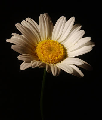 White Daisy Print by Greg and Chrystal Mimbs
