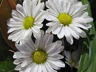 Photograph - White Daisy by Joyce Woodhouse