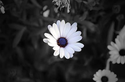 Nature Photograph - White Daisy by Sumit Mehndiratta