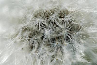 Dandelion Photograph - White Dandelion Detail by Matthias Hauser