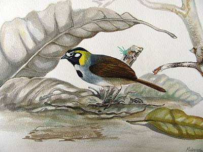 Wildlife Painting - White-eared Ground Sparrow by Robin Schiele