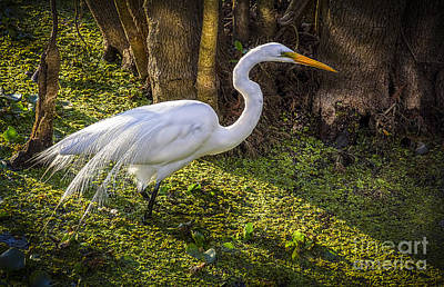 White Egret On The Hunt Print by Marvin Spates