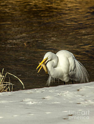 Catfish Photograph - White Egret Snowy Bank by Robert Frederick