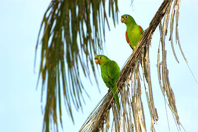 Parakeet Photograph - White-eyed Parakeets, Brazil by Gregory G. Dimijian, M.D.