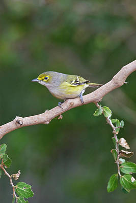 White-eyed Vireo (vireo Griseus Print by Larry Ditto