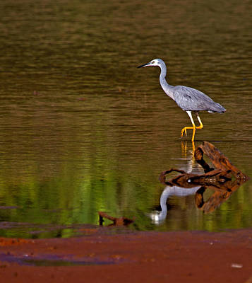 Heron Photograph - White Faced Heron And His Reflection by Mr Bennett Kent