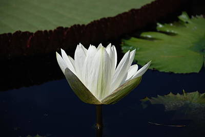 Flowers Photograph - White Flower Growing Out Of Lily Pond by Jennifer Ancker