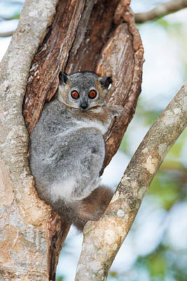 Lemur Photograph - White-footed Sportive Lemur by Dr P. Marazzi