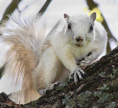 Walnut Tree Photograph - White Fox Squirrel by Betsy C Knapp
