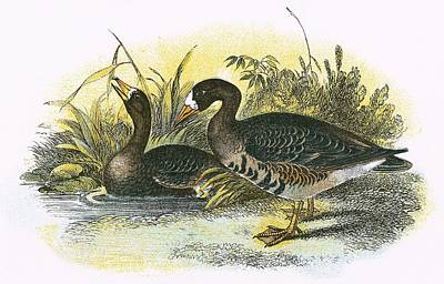 Geese Drawing - White Fronted Goose by English School