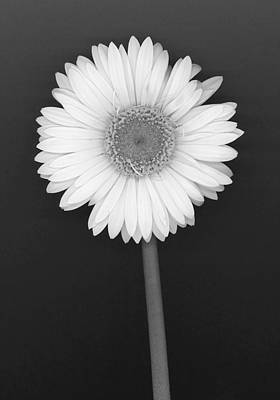 White Gerbera Daisy In Black And White Print by Suzanne Gaff